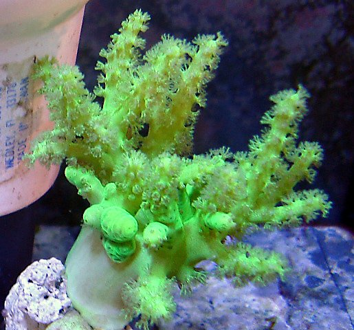 This leather coral is a neon green.