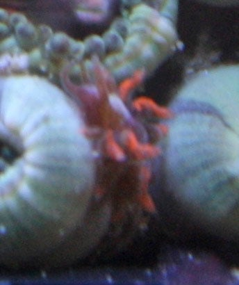 Zoanthid eating nudibranch-Check out this hungry predator!
