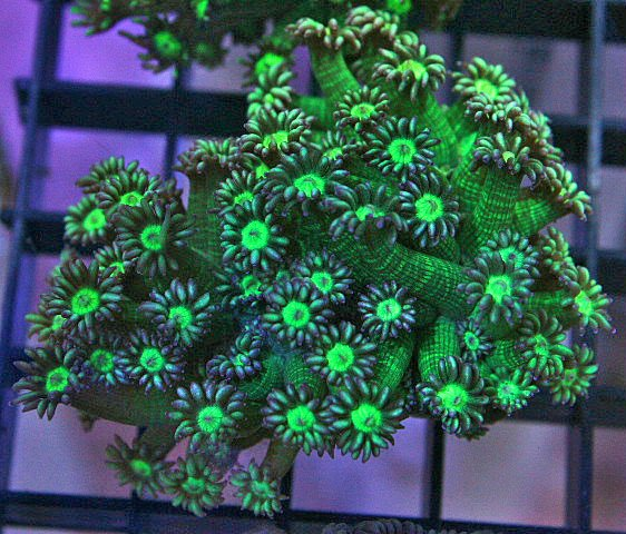 This green Goniopora sp. has 24 tentacles on each polyp.