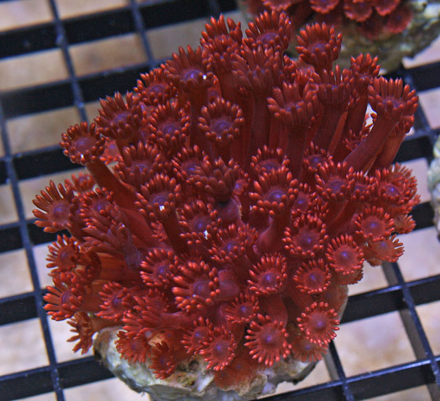 This red Goniopora flower-pot coral is an aquacultured variety.
